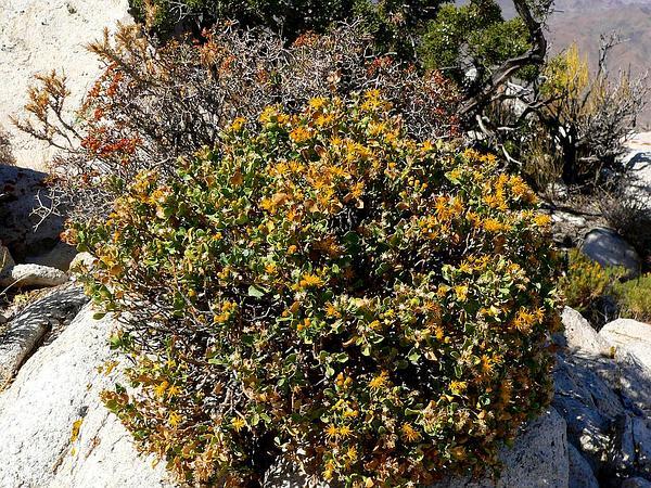 Cliff Goldenbush (Ericameria Cuneata) https://www.sagebud.com/cliff-goldenbush-ericameria-cuneata