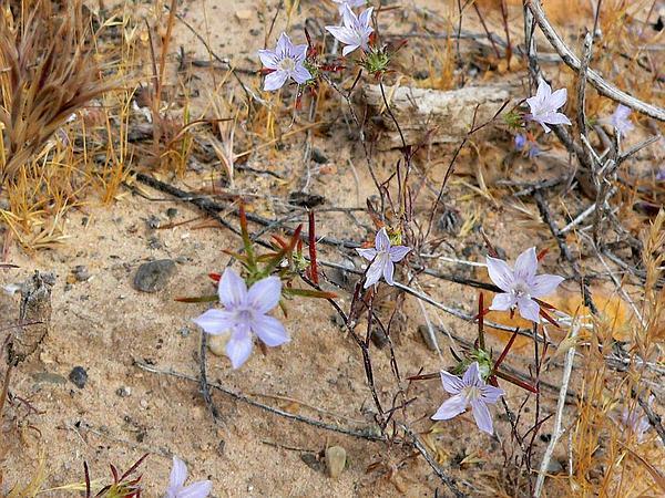 Desert Woollystar (Eriastrum Eremicum) https://www.sagebud.com/desert-woollystar-eriastrum-eremicum