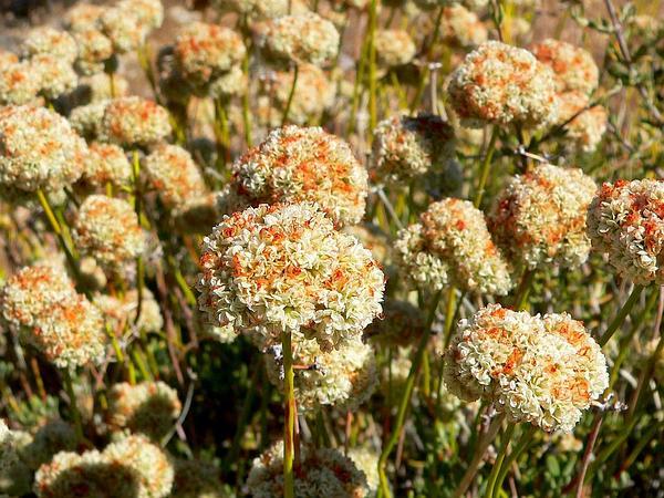 Eastern Mojave Buckwheat (Eriogonum Fasciculatum) https://www.sagebud.com/eastern-mojave-buckwheat-eriogonum-fasciculatum