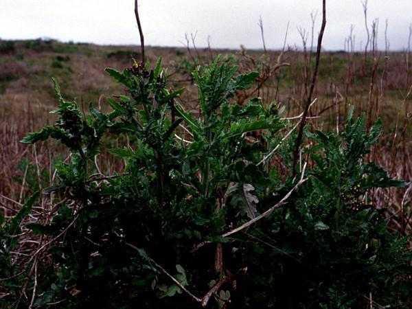 Cutleaf Burnweed (Erechtites Glomerata) https://www.sagebud.com/cutleaf-burnweed-erechtites-glomerata/