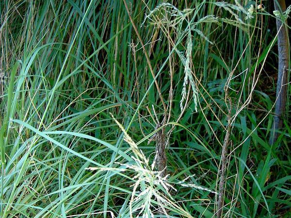 Large Hawai'I Lovegrass (Eragrostis Grandis) https://www.sagebud.com/large-hawaii-lovegrass-eragrostis-grandis