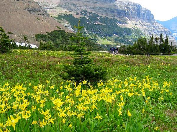 Yellow Avalanche-Lily (Erythronium Grandiflorum) https://www.sagebud.com/yellow-avalanche-lily-erythronium-grandiflorum