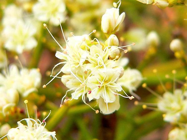 Heermann's Buckwheat (Eriogonum Heermannii) https://www.sagebud.com/heermanns-buckwheat-eriogonum-heermannii
