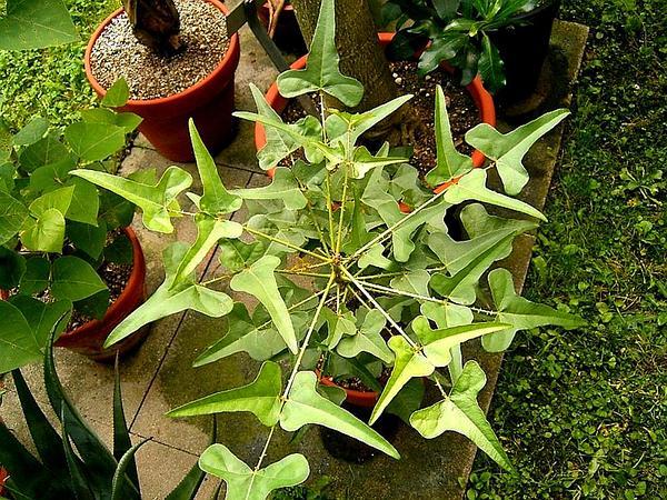 Redcardinal (Erythrina Herbacea) https://www.sagebud.com/redcardinal-erythrina-herbacea
