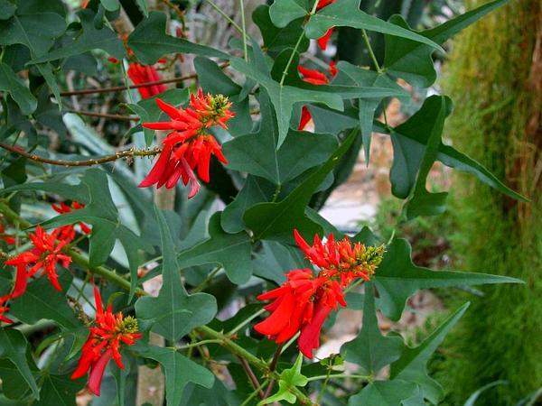 Redcardinal (Erythrina Herbacea) https://www.sagebud.com/redcardinal-erythrina-herbacea/