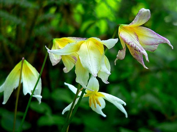 Pacific Fawnlily (Erythronium Helenae) https://www.sagebud.com/pacific-fawnlily-erythronium-helenae/