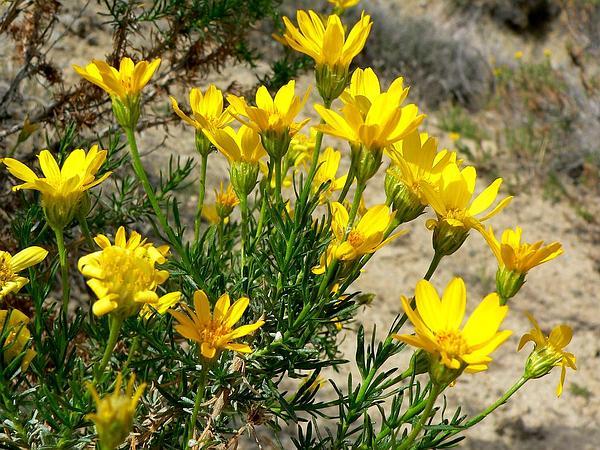 Goldenbush (Ericameria) https://www.sagebud.com/goldenbush-ericameria