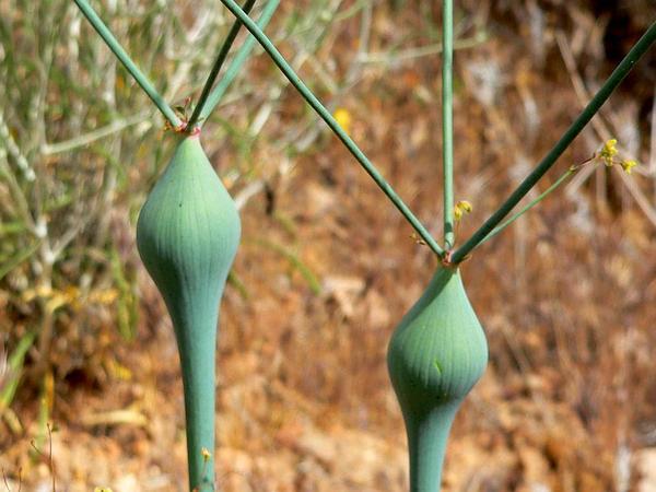Desert Trumpet (Eriogonum Inflatum) https://www.sagebud.com/desert-trumpet-eriogonum-inflatum/