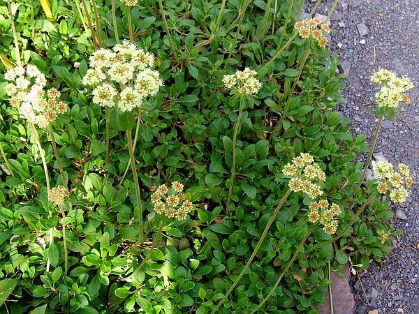 Buckwheat (Eriogonum) https://www.sagebud.com/buckwheat-eriogonum/