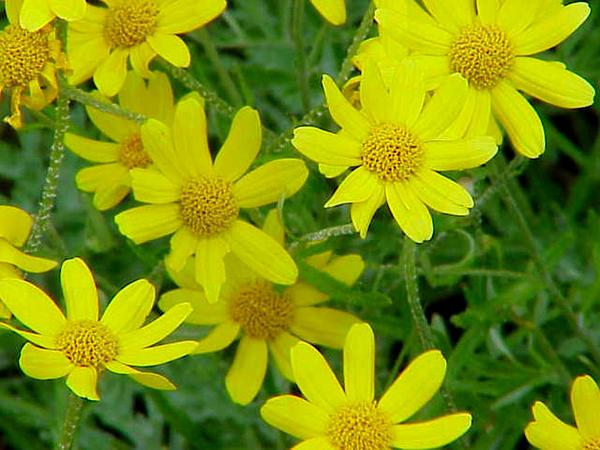 Woolly Sunflower (Eriophyllum) https://www.sagebud.com/woolly-sunflower-eriophyllum