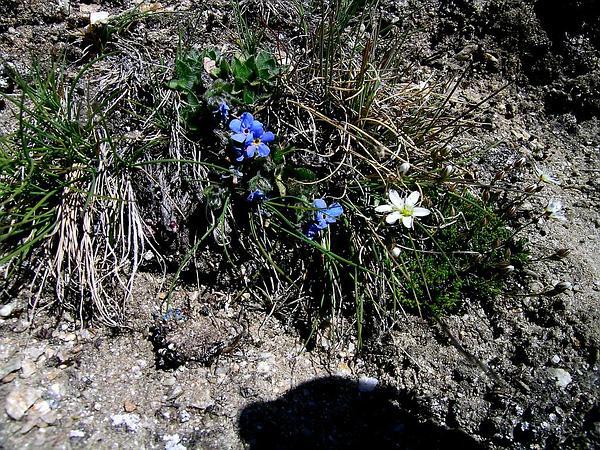 Alpine Forget-Me-Not (Eritrichium) https://www.sagebud.com/alpine-forget-me-not-eritrichium