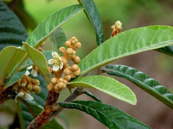 Loquat (Eriobotrya Japonica) https://www.sagebud.com/loquat-eriobotrya-japonica