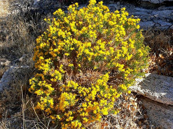 Turpentine Bush (Ericameria Laricifolia) https://www.sagebud.com/turpentine-bush-ericameria-laricifolia