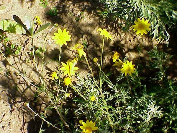 Common Woolly Sunflower (Eriophyllum Lanatum) https://www.sagebud.com/common-woolly-sunflower-eriophyllum-lanatum