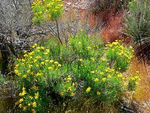 Narrowleaf Goldenbush