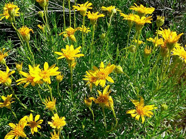 Narrowleaf Goldenbush (Ericameria Linearifolia) https://www.sagebud.com/narrowleaf-goldenbush-ericameria-linearifolia