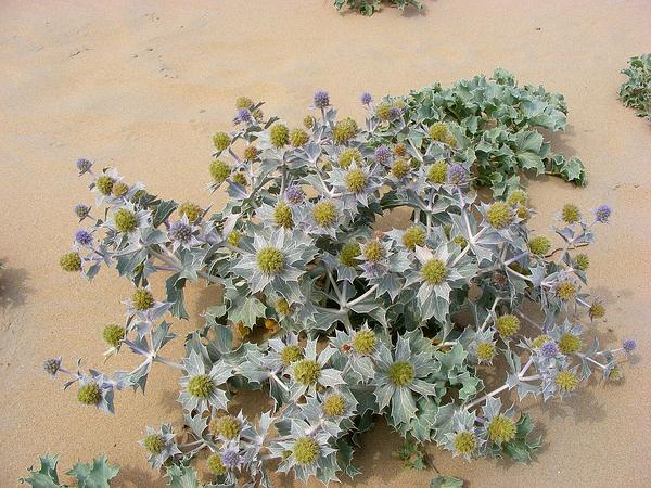 Seaside Eryngo (Eryngium Maritimum) https://www.sagebud.com/seaside-eryngo-eryngium-maritimum