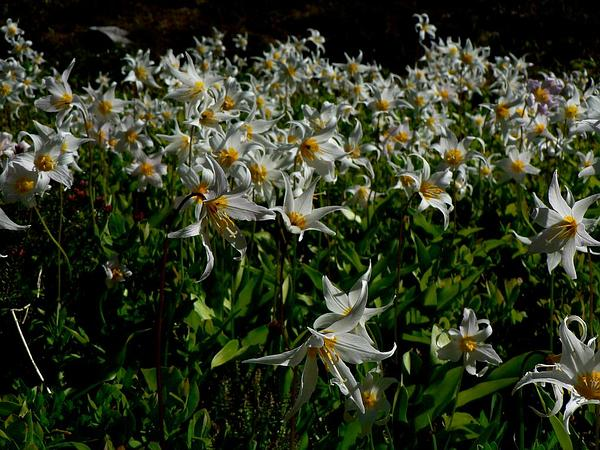 White Avalanche-Lily (Erythronium Montanum) https://www.sagebud.com/white-avalanche-lily-erythronium-montanum/