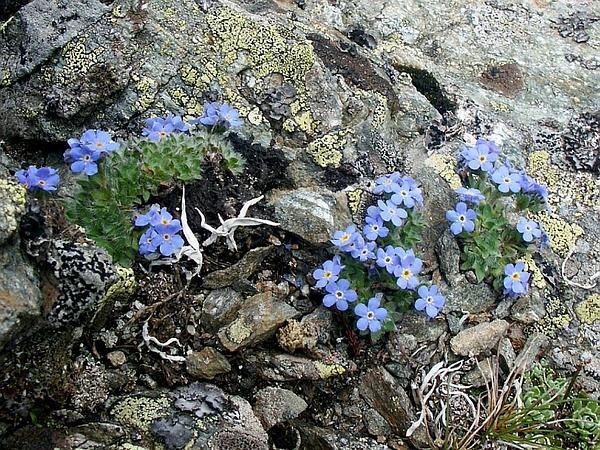 Arctic Alpine Forget-Me-Not (Eritrichium Nanum) https://www.sagebud.com/arctic-alpine-forget-me-not-eritrichium-nanum/