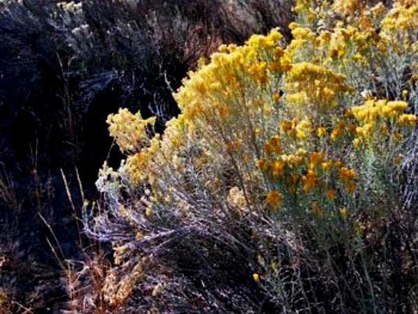 Rubber Rabbitbrush (Ericameria Nauseosa) https://www.sagebud.com/rubber-rabbitbrush-ericameria-nauseosa