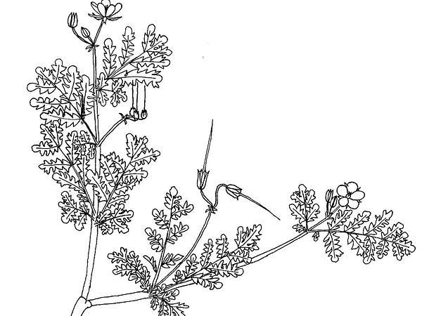 Stork's Bill (Erodium) https://www.sagebud.com/storks-bill-erodium