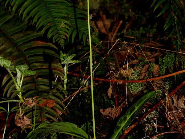 Giant White Fawnlily (Erythronium Oregonum) https://www.sagebud.com/giant-white-fawnlily-erythronium-oregonum