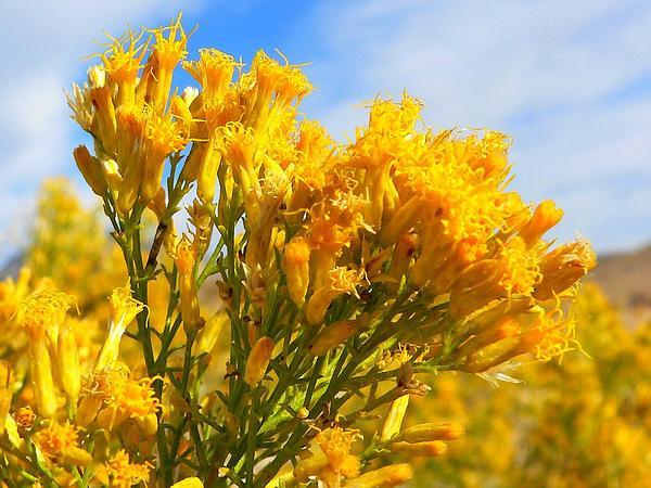 Mojave Rabbitbrush (Ericameria Paniculata) https://www.sagebud.com/mojave-rabbitbrush-ericameria-paniculata