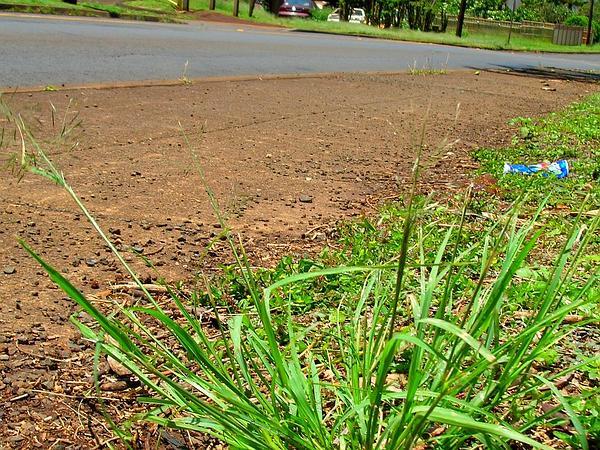 Tufted Lovegrass (Eragrostis Pectinacea) https://www.sagebud.com/tufted-lovegrass-eragrostis-pectinacea