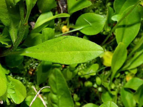 Subalpine Fleabane (Erigeron Peregrinus) https://www.sagebud.com/subalpine-fleabane-erigeron-peregrinus