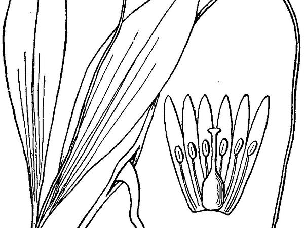 Minnesota Fawnlily (Erythronium Propullans) https://www.sagebud.com/minnesota-fawnlily-erythronium-propullans