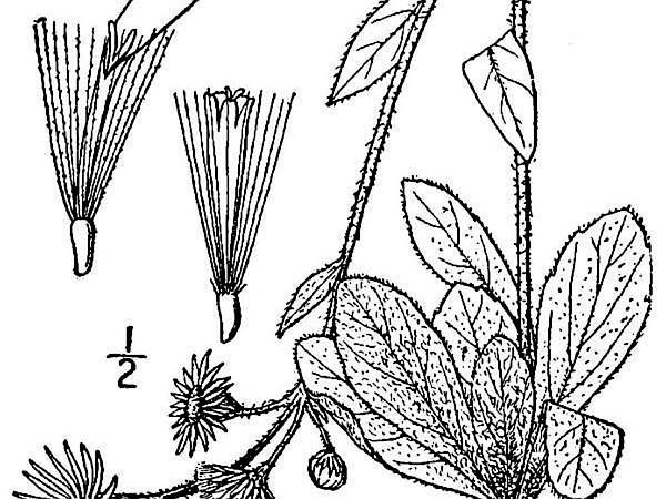 Robin's Plantain (Erigeron Pulchellus) https://www.sagebud.com/robins-plantain-erigeron-pulchellus/