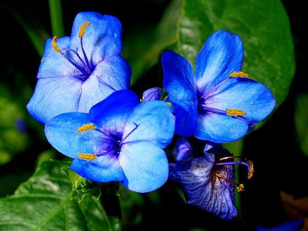 Blue-Sage (Eranthemum Pulchellum) https://www.sagebud.com/blue-sage-eranthemum-pulchellum