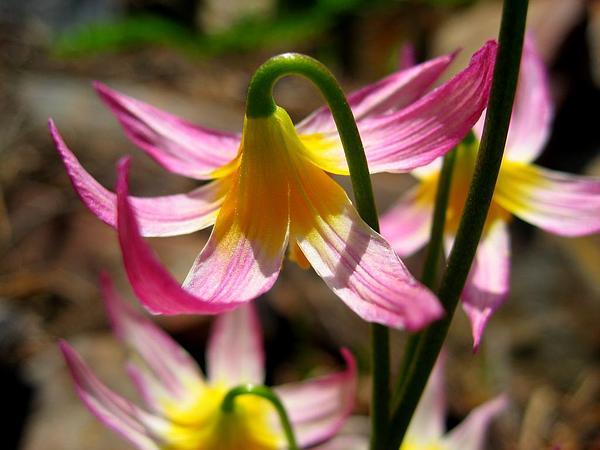 Purple Fawnlily (Erythronium Purpurascens) https://www.sagebud.com/purple-fawnlily-erythronium-purpurascens