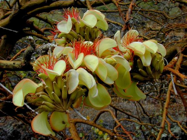 Wili Wili (Erythrina Sandwicensis) https://www.sagebud.com/wili-wili-erythrina-sandwicensis