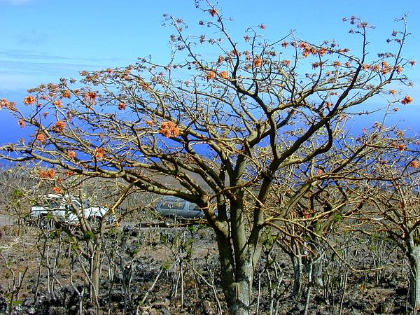 Wili Wili (Erythrina Sandwicensis) https://www.sagebud.com/wili-wili-erythrina-sandwicensis/