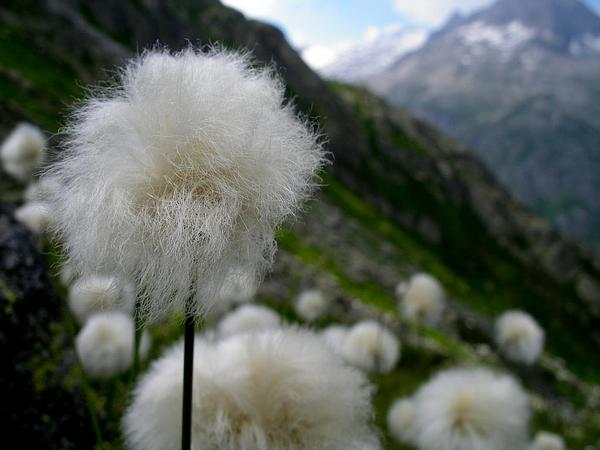 White Cottongrass (Eriophorum Scheuchzeri) https://www.sagebud.com/white-cottongrass-eriophorum-scheuchzeri