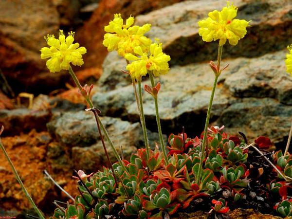 Siskiyou Buckwheat (Eriogonum Siskiyouense) https://www.sagebud.com/siskiyou-buckwheat-eriogonum-siskiyouense