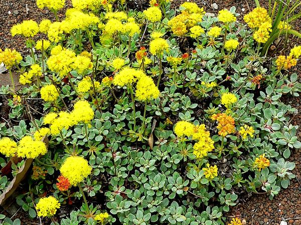Sulphur-Flower Buckwheat (Eriogonum Umbellatum) https://www.sagebud.com/sulphur-flower-buckwheat-eriogonum-umbellatum