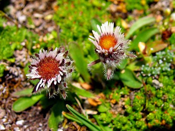 Oneflower Fleabane (Erigeron Uniflorus) https://www.sagebud.com/oneflower-fleabane-erigeron-uniflorus