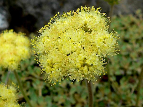 Bear Valley Buckwheat (Eriogonum Ursinum) https://www.sagebud.com/bear-valley-buckwheat-eriogonum-ursinum/
