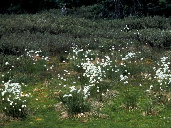 Tussock Cottongrass (Eriophorum Vaginatum) https://www.sagebud.com/tussock-cottongrass-eriophorum-vaginatum/