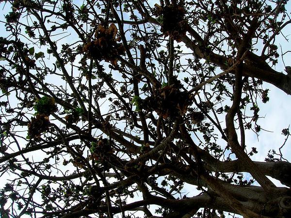 Tiger's Claw (Erythrina Variegata) https://www.sagebud.com/tigers-claw-erythrina-variegata