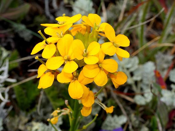 Wallflower (Erysimum) https://www.sagebud.com/wallflower-erysimum