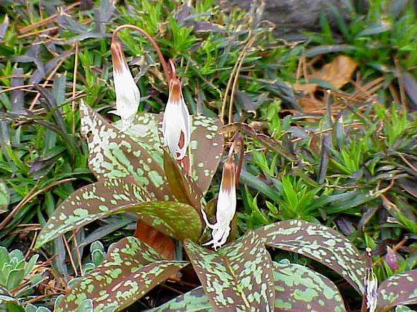 Fawnlily (Erythronium) https://www.sagebud.com/fawnlily-erythronium