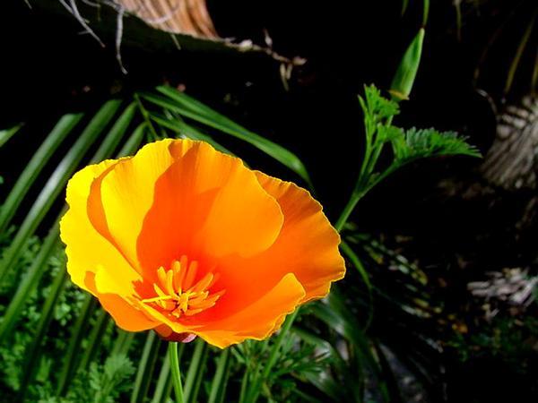 California Poppy (Eschscholzia Californica) https://www.sagebud.com/california-poppy-eschscholzia-californica