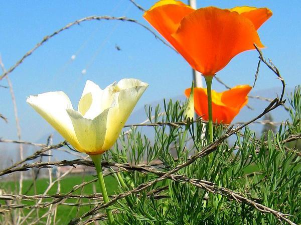California Poppy (Eschscholzia) https://www.sagebud.com/california-poppy-eschscholzia