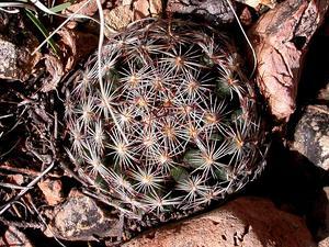 Foxtail Cactus