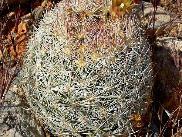 Foxtail Cactus (Escobaria) https://www.sagebud.com/foxtail-cactus-escobaria