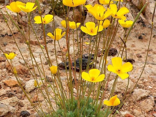 Desert Poppy (Eschscholzia Glyptosperma) https://www.sagebud.com/desert-poppy-eschscholzia-glyptosperma