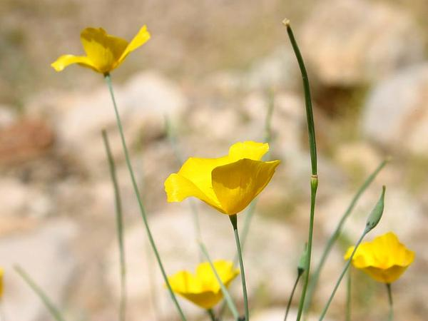 Pygmy Poppy (Eschscholzia Minutiflora) https://www.sagebud.com/pygmy-poppy-eschscholzia-minutiflora/